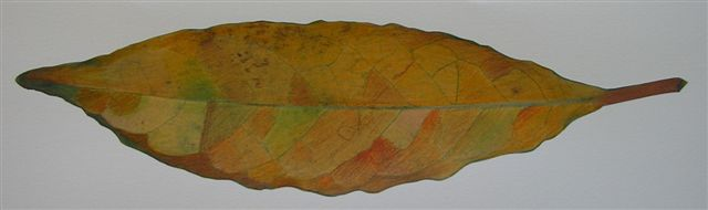 leaf-drawing-2